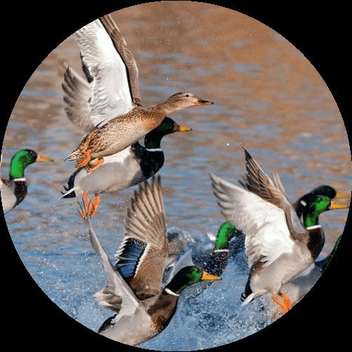 ducks taking flight from a lake